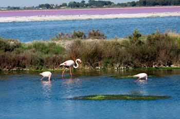 flamants rose - presqu il de giens